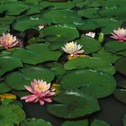 Journal of the Plague Year: Of ponds and water lilies and coronavirus